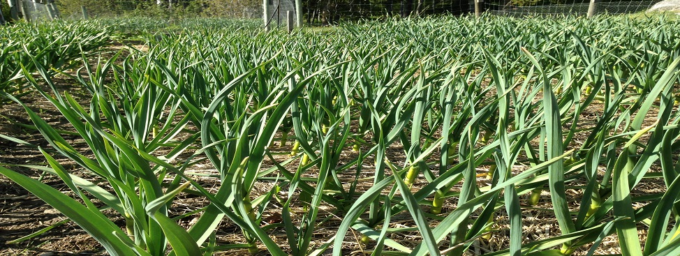 2016 Garlic Crop